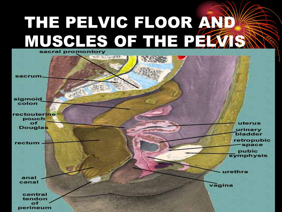 THE PELVIC FLOOR AND MUSCLES OF THE PELVIS