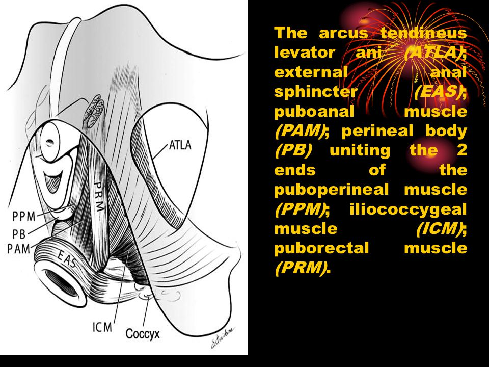 The arcus tendineus levator ani (ATLA); external anal sphincter (EAS); puboanal muscle (PAM); perineal body (PB) uniting the 2 ends of the puboperinea