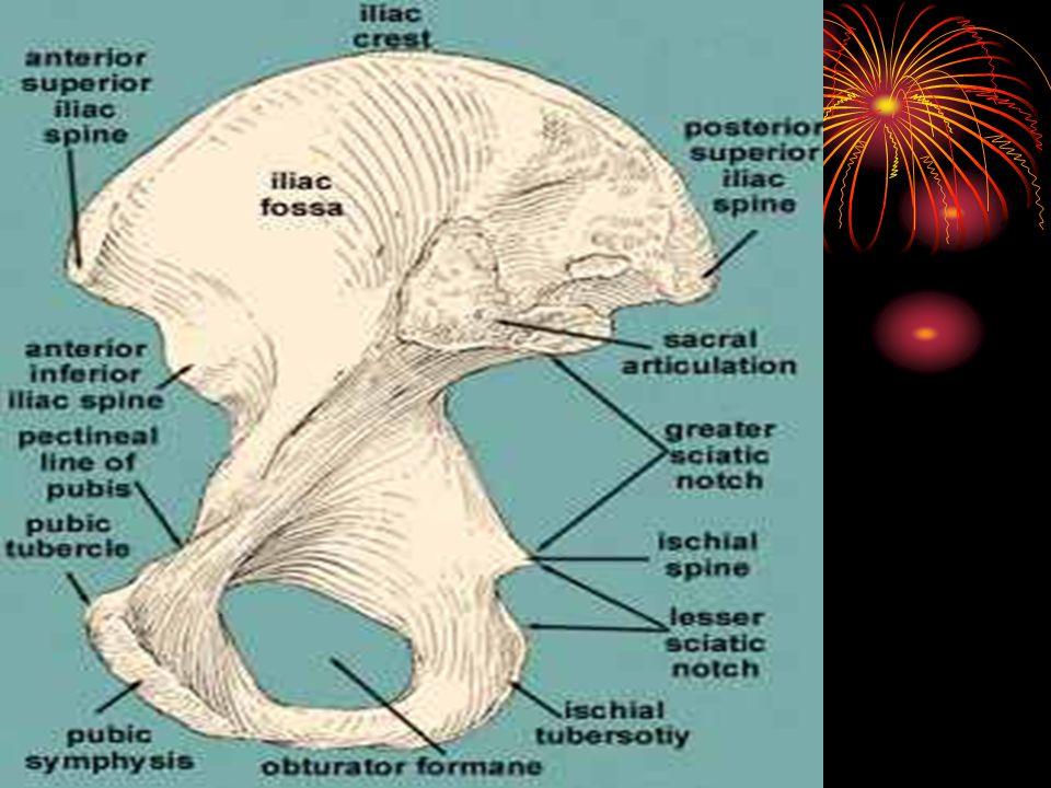 ramus inferior ossis pubis