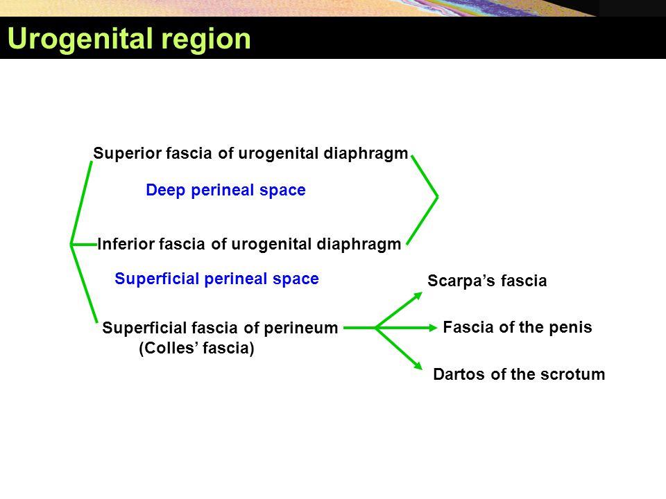 Superior fascia of urogenital diaphragm Inferior fascia of urogenital diaphragm Superficial fascia of perineum (Colles' fascia) Deep perineal space Su