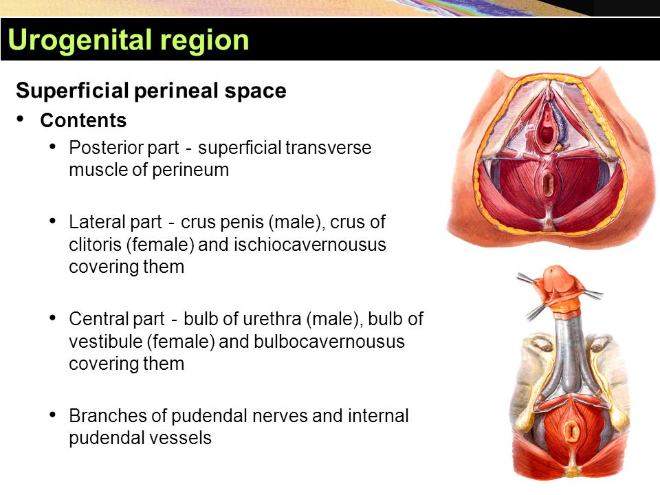 Urogenital region Superficial perineal space Contents Posterior part - superficial transverse muscle of perineum Lateral part - crus penis (male), cru