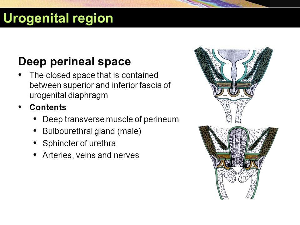 Urogenital region Deep perineal space The closed space that is contained between superior and inferior fascia of urogenital diaphragm Contents Deep tr