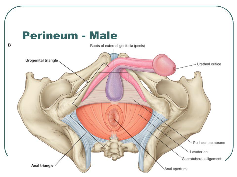 Beautiful External Male Anatomy Ideas - Anatomy Ideas - yunoki.info