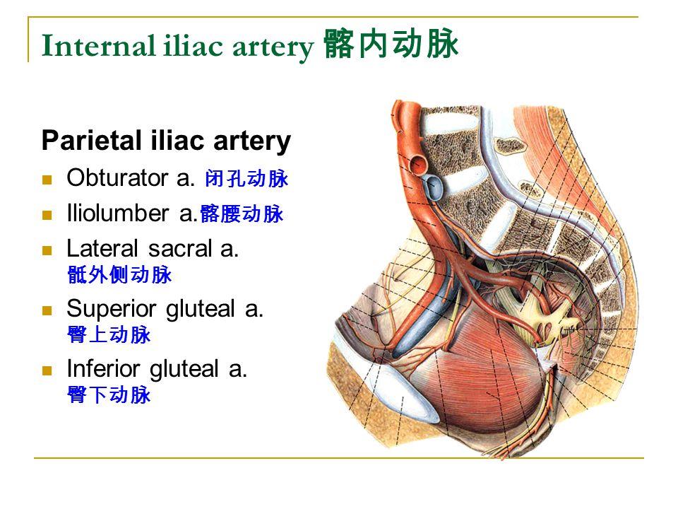Internal iliac artery 髂内动脉 Parietal iliac artery Obturator a. 闭孔动脉 Iliolumber a. 髂腰动脉 Lateral sacral a. 骶外侧动脉 Superior gluteal a. 臀上动脉 Inferior glutea