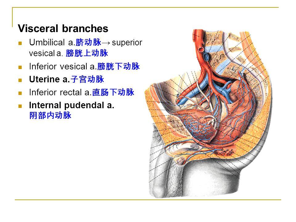 Visceral branches Umbilical a. 脐动脉 → superior vesical a. 膀胱上动脉 Inferior vesical a. 膀胱下动脉 Uterine a. 子宫动脉 Inferior rectal a. 直肠下动脉 Internal pudendal a.