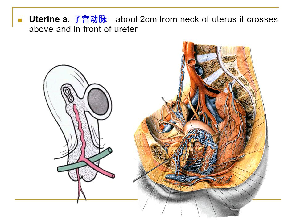 Uterine a. 子宫动脉 —about 2cm from neck of uterus it crosses above and in front of ureter