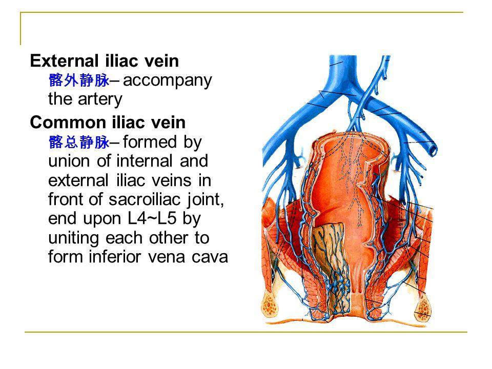 External iliac vein 髂外静脉 – accompany the artery Common iliac vein 髂总静脉 – formed by union of internal and external iliac veins in front of sacroiliac j