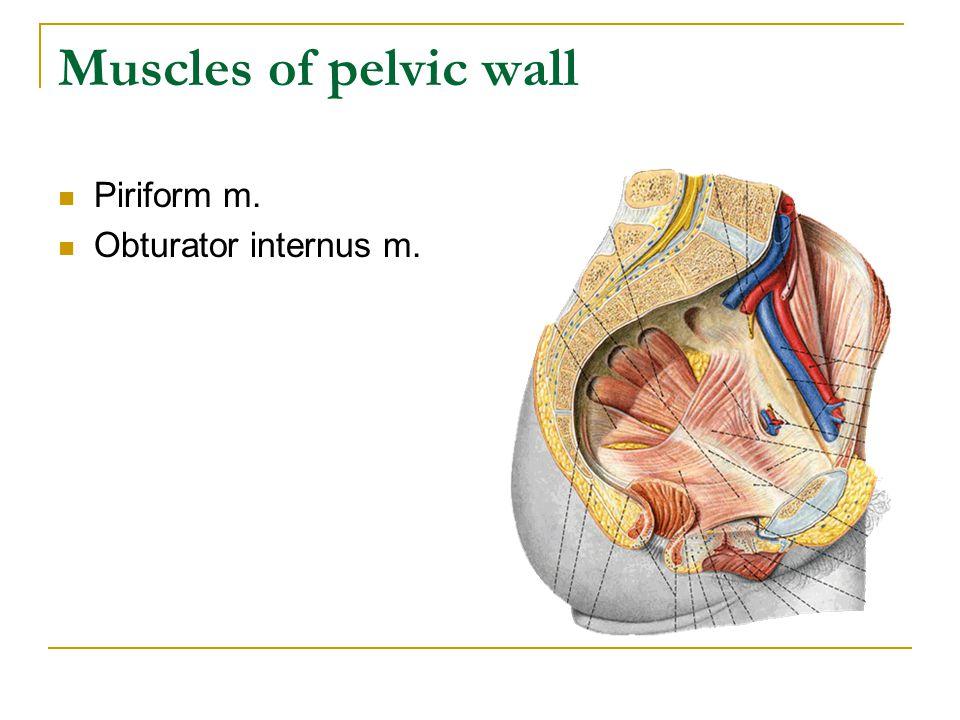 Muscles of pelvic wall Piriform m. Obturator internus m.