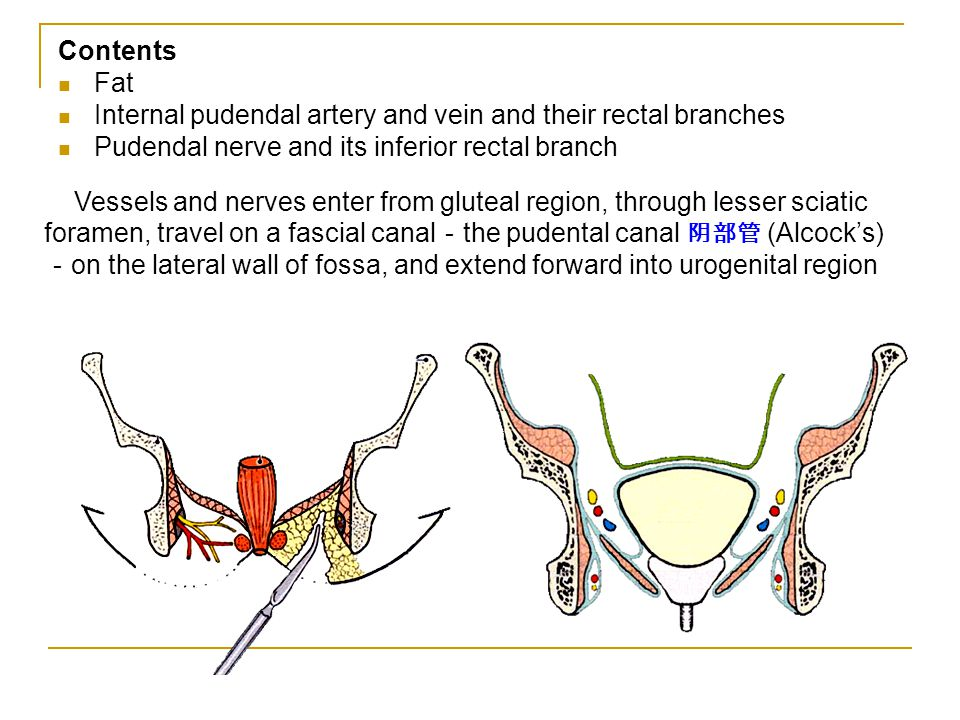 Contents Fat Internal pudendal artery and vein and their rectal branches Pudendal nerve and its inferior rectal branch Vessels and nerves enter from g