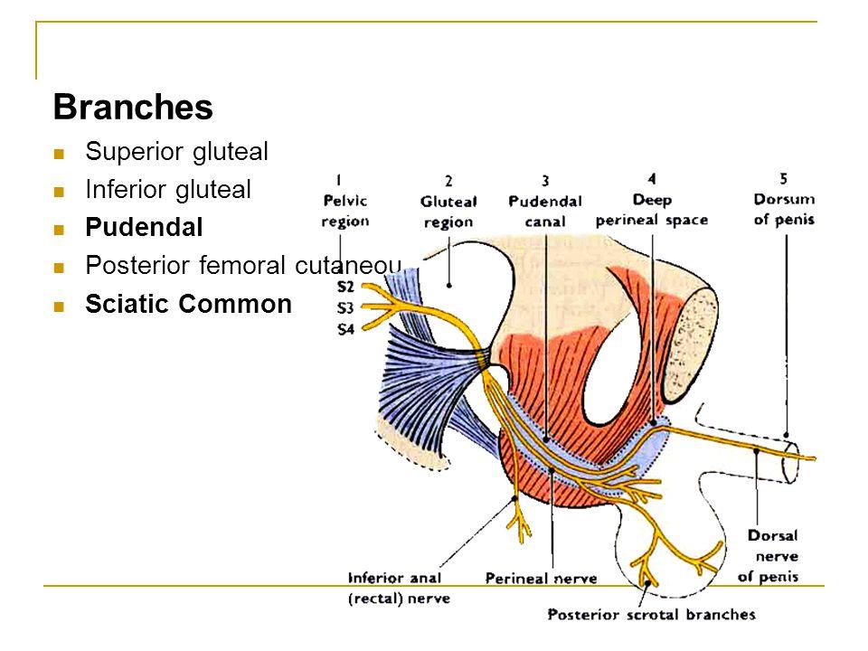 Branches Superior gluteal Inferior gluteal Pudendal Posterior femoral cutaneou Sciatic Common