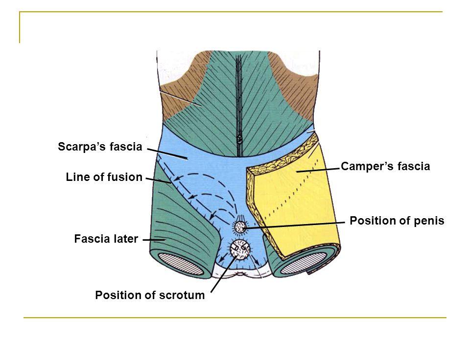 Camper's fascia Position of penis Scarpa's fascia Fascia later Line of fusion Position of scrotum