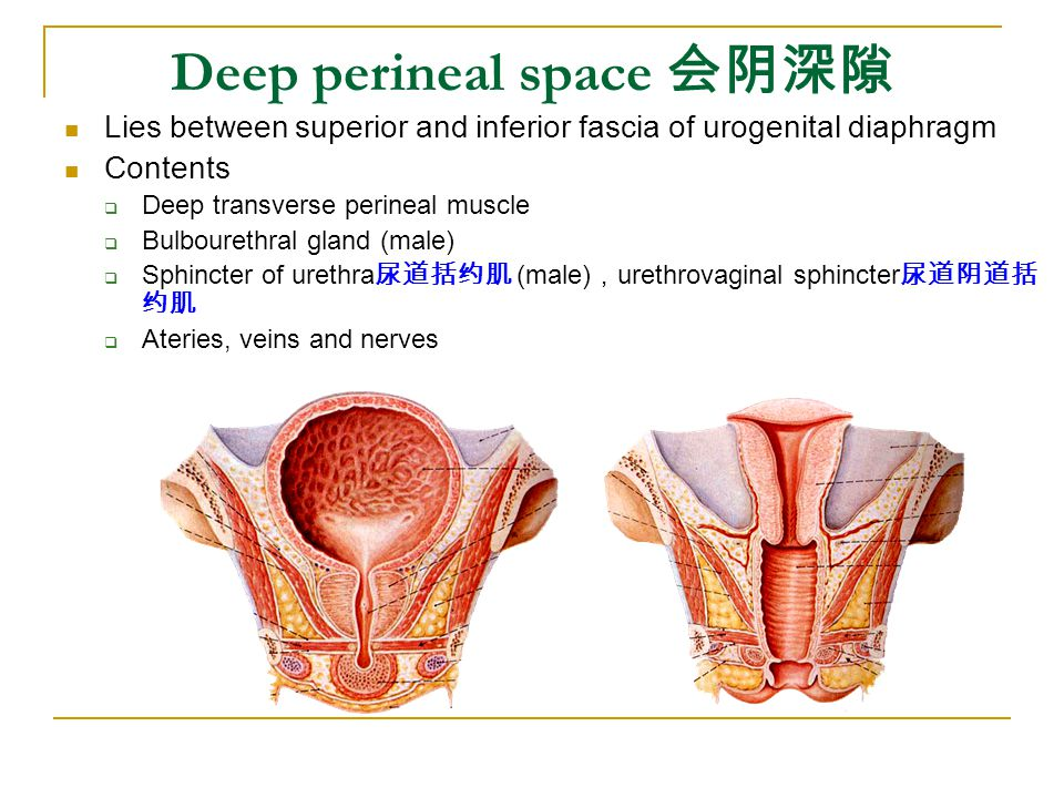 Deep perineal space 会阴深隙 Lies between superior and inferior fascia of urogenital diaphragm Contents  Deep transverse perineal muscle  Bulbourethral