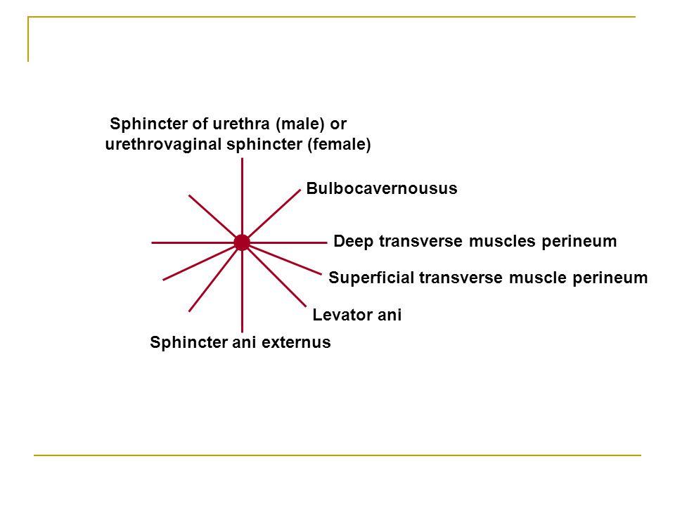Sphincter ani externus Levator ani Superficial transverse muscle perineum Bulbocavernousus Deep transverse muscles perineum Sphincter of urethra (male