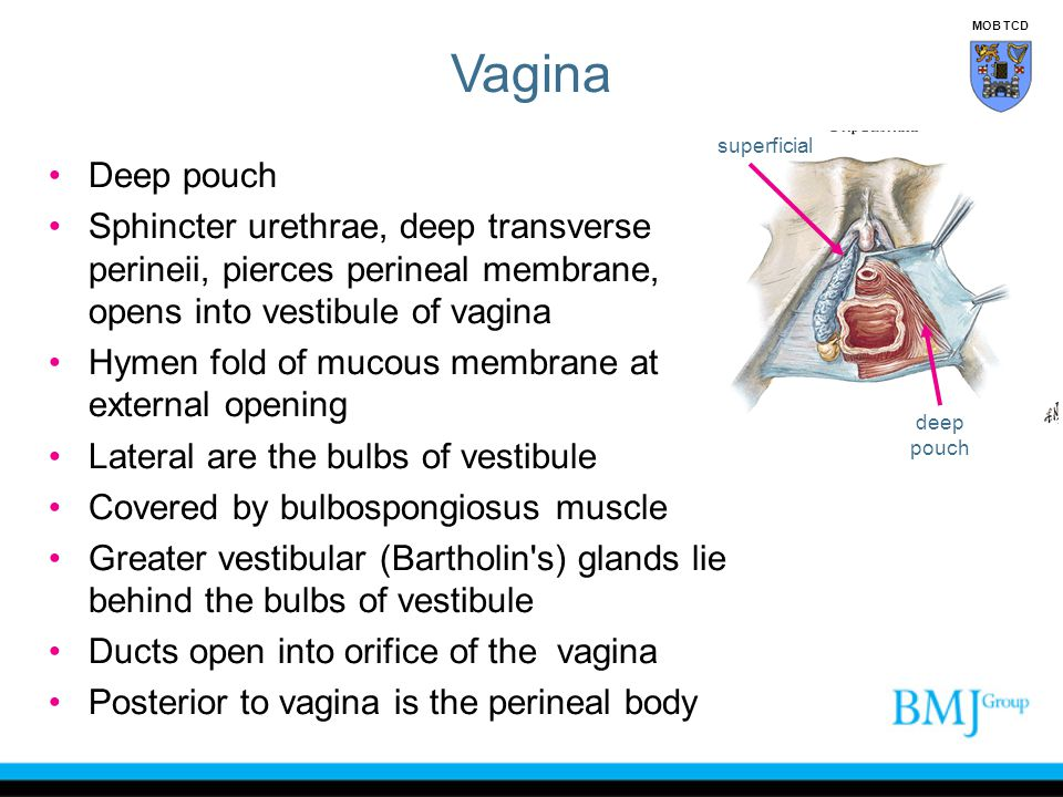 Deep pouch Sphincter urethrae, deep transverse perineii, pierces perineal membrane, opens into vestibule of vagina Hymen fold of mucous membrane at external opening Lateral are the bulbs of vestibule Covered by bulbospongiosus muscle Greater vestibular (Bartholin s) glands lie behind the bulbs of vestibule Ducts open into orifice of the vagina Posterior to vagina is the perineal body deep pouch superficial Vagina MOB TCD
