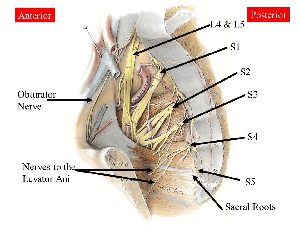 Sacrum Anatomy Nerves