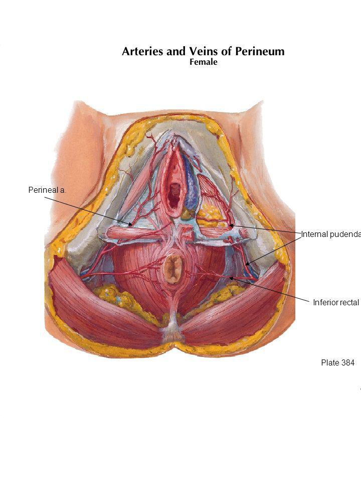Plate 384 Inferior rectal a. Internal pudendal a. Perineal a.