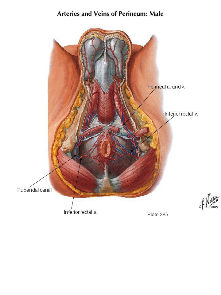 Plate 385 Inferior rectal a. Inferior rectal v. Perineal a. and v. Pudendal canal