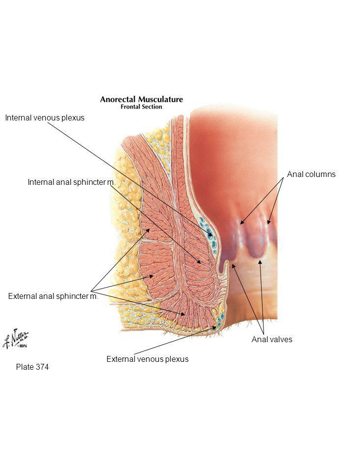 Plate 374 External anal sphincter m. Internal anal sphincter m. Anal valves Anal columns Internal venous plexus External venous plexus