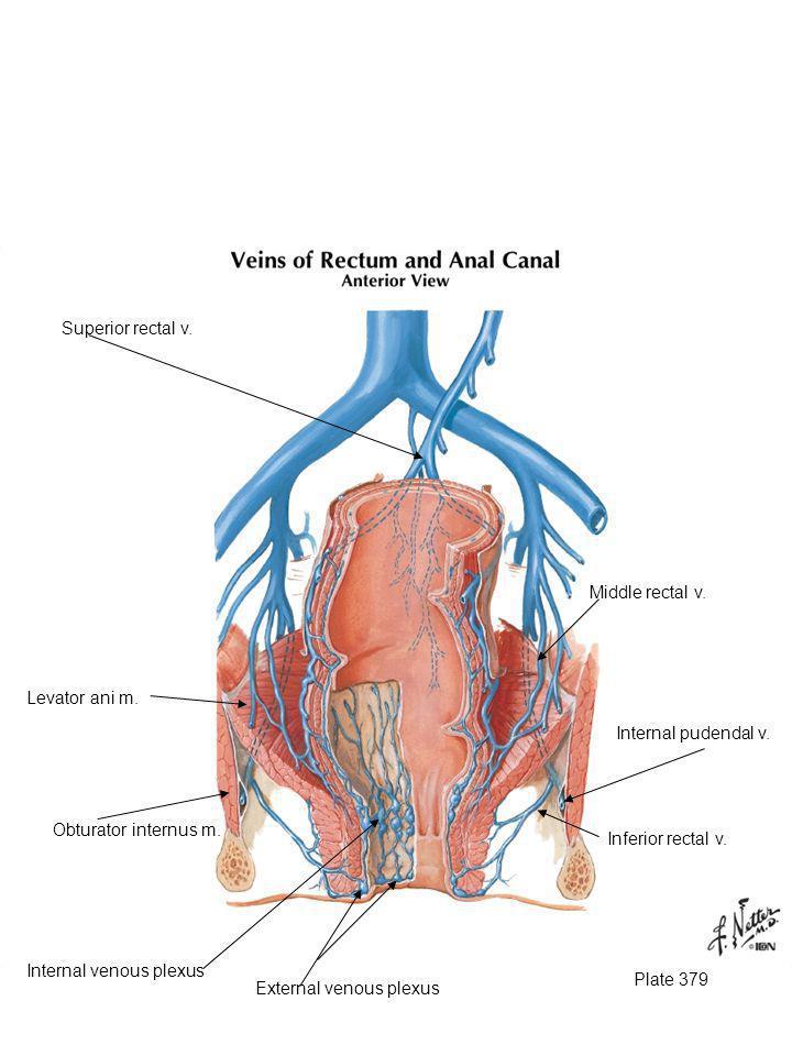 Plate 379 Inferior rectal v. Internal pudendal v. Obturator internus m. Superior rectal v. Middle rectal v. External venous plexus Internal venous ple