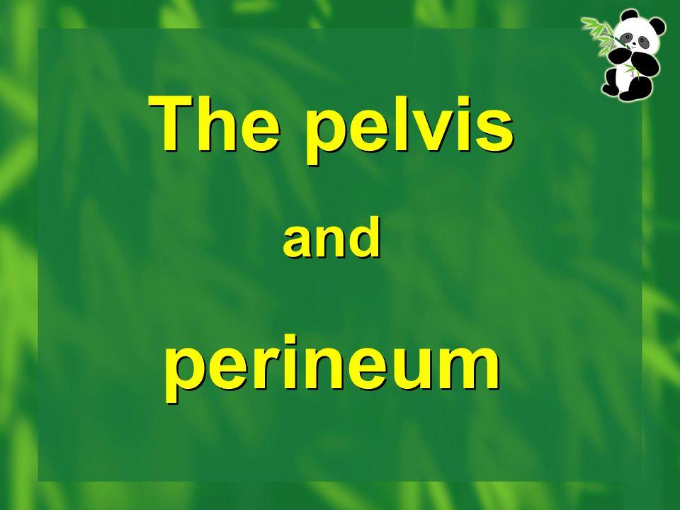 The pelvis and perineum The pelvis and perineum