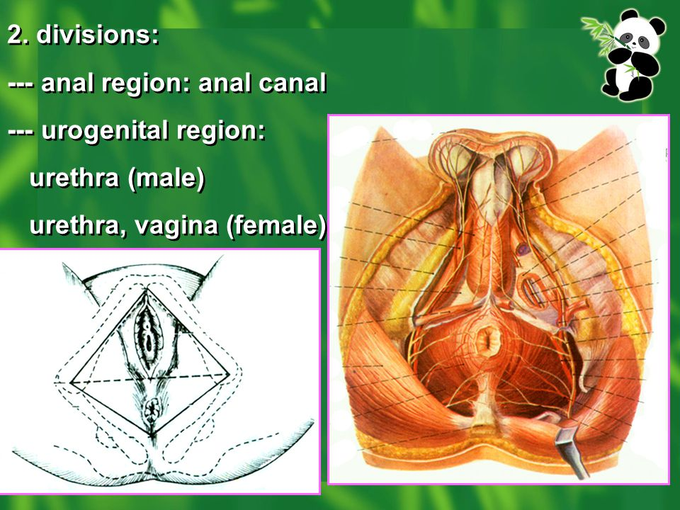 2. divisions: --- anal region: anal canal --- urogenital region: urethra (male) urethra, vagina (female) 2. divisions: --- anal region: anal canal ---