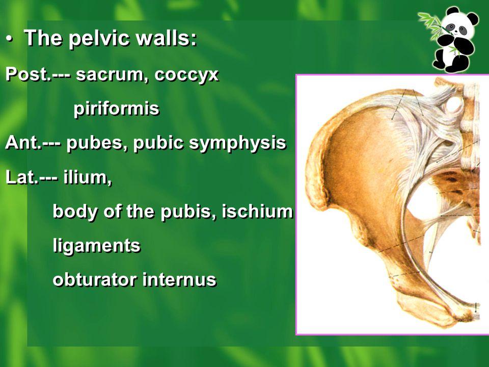 The pelvic walls: Post.--- sacrum, coccyx piriformis Ant.--- pubes, pubic symphysis Lat.--- ilium, body of the pubis, ischium ligaments obturator inte