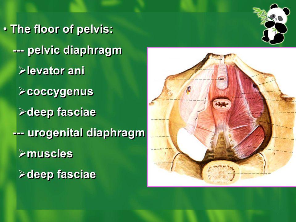 The floor of pelvis: --- pelvic diaphragm  levator ani  coccygenus  deep fasciae --- urogenital diaphragm  muscles  deep fasciae The floor of pel