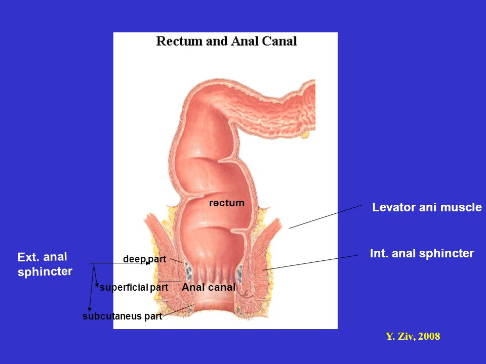 Y. Ziv, 2008 Anal canal Int. anal sphincter Ext. anal sphincter Levator ani muscle rectum deep part superficial part subcutaneus part