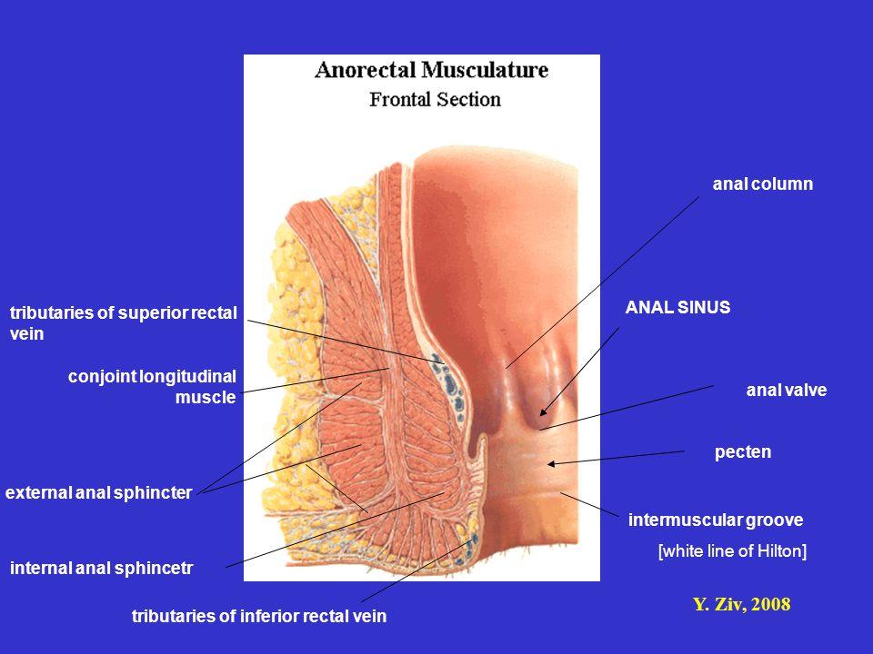 Y. Ziv, 2008 anal column anal valve tributaries of superior rectal vein external anal sphincter internal anal sphincetr tributaries of inferior rectal