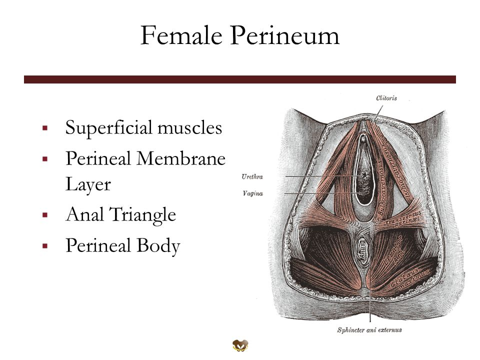 Female Perineum  Superficial muscles  Perineal Membrane Layer  Anal Triangle  Perineal Body