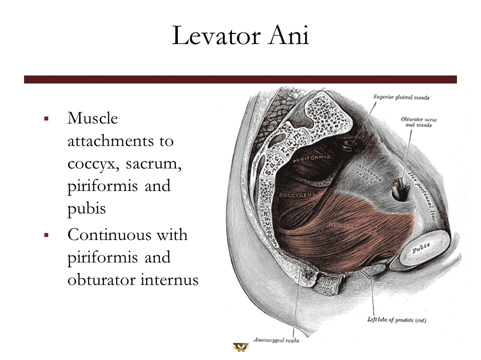 Levator Ani  Muscle attachments to coccyx, sacrum, piriformis and pubis  Continuous with piriformis and obturator internus