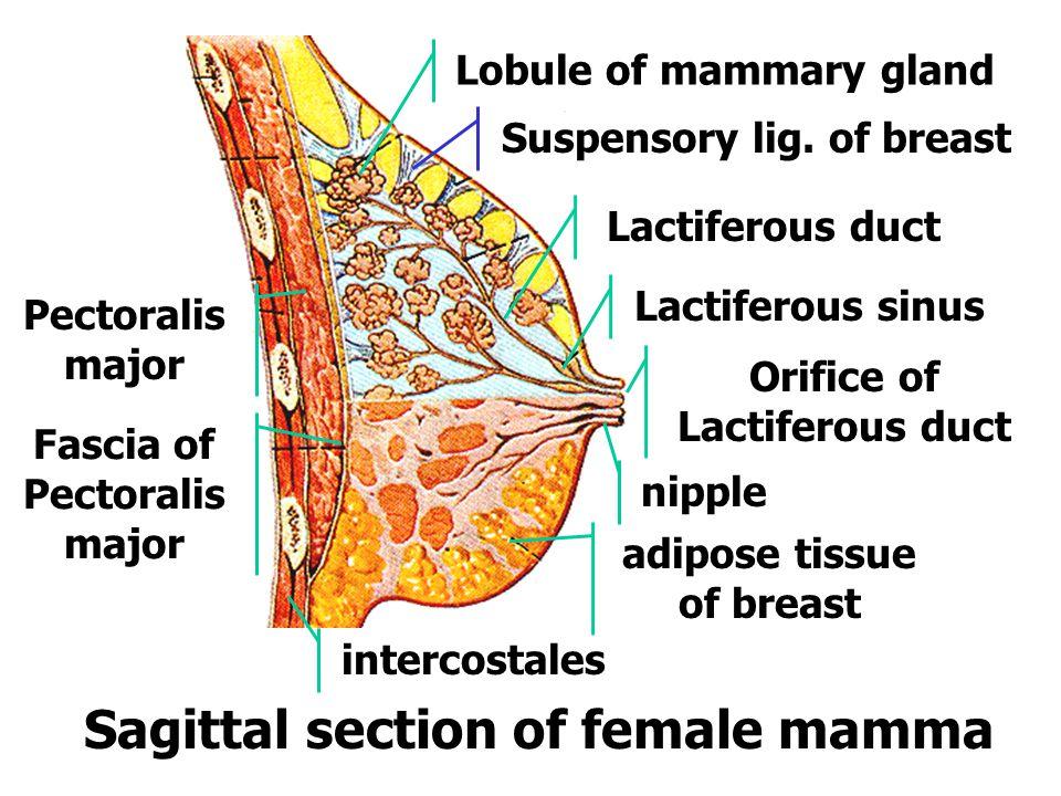 乳头 乳晕 乳晕腺 乳腺小叶 输乳管 输乳管窦 乳房脂肪体 乳房皮肤