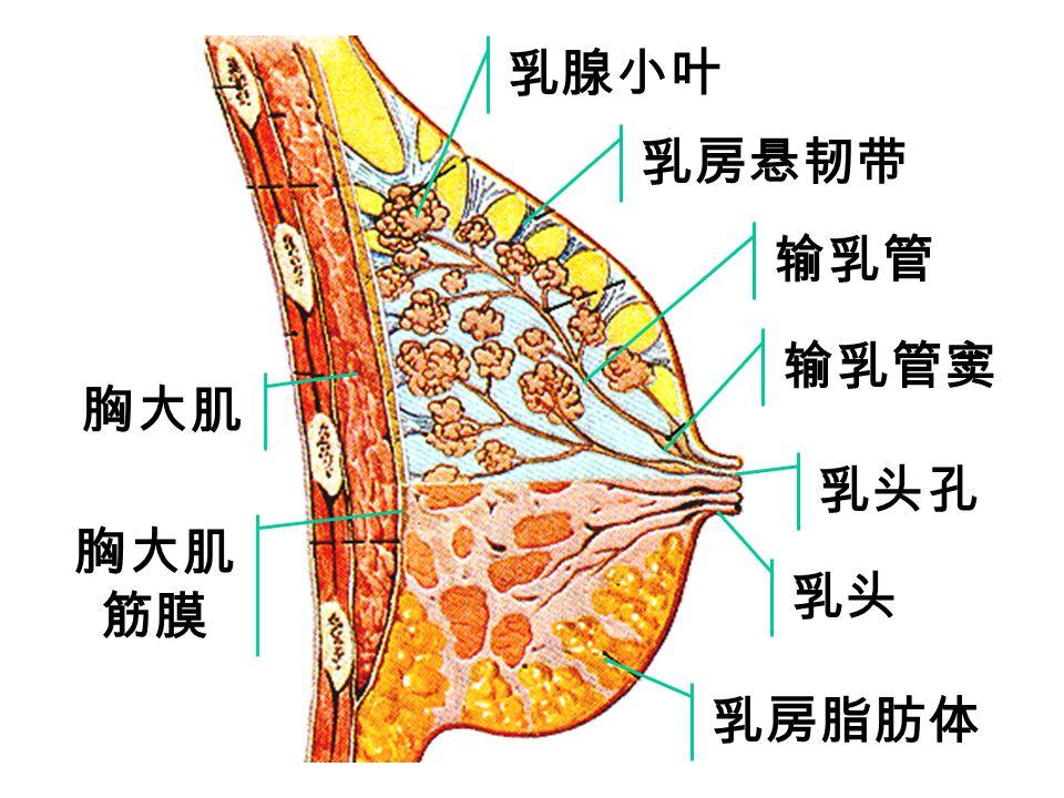 nipple Sagittal section of female mamma adipose tissue of breast Lobule of mammary gland Lactiferous duct Lactiferous sinus Pectoralis major intercost