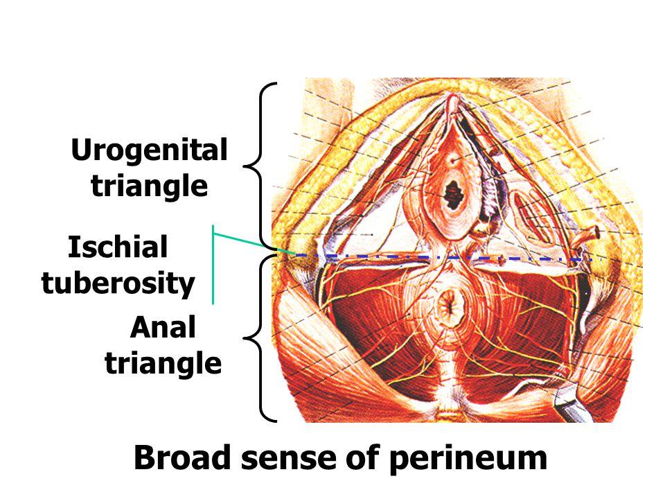 Urogenital triangle Anal triangle Ischial tuberosity Broad sense of perineum