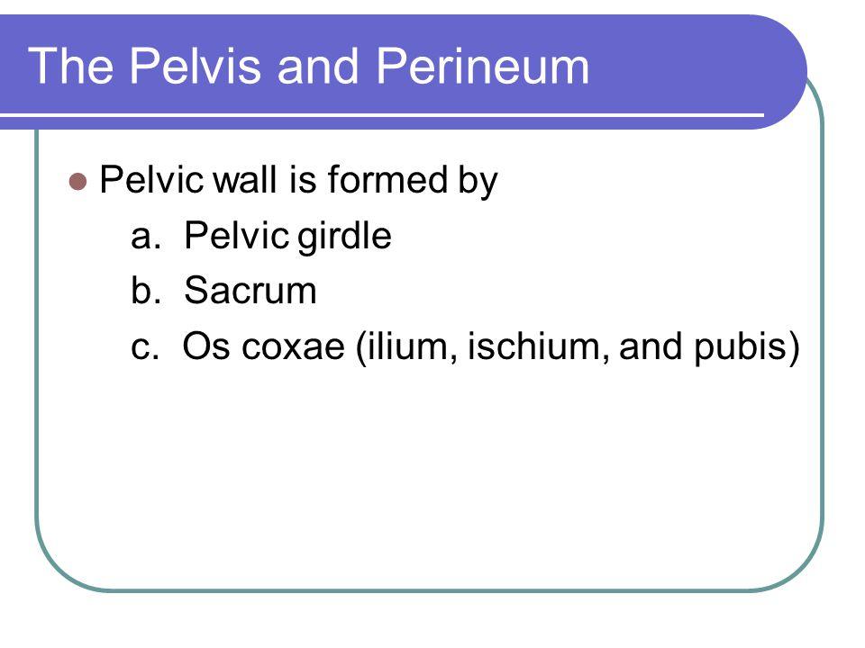 The Pelvis and Perineum Pelvic wall is formed by a. Pelvic girdle b. Sacrum c. Os coxae (ilium, ischium, and pubis)
