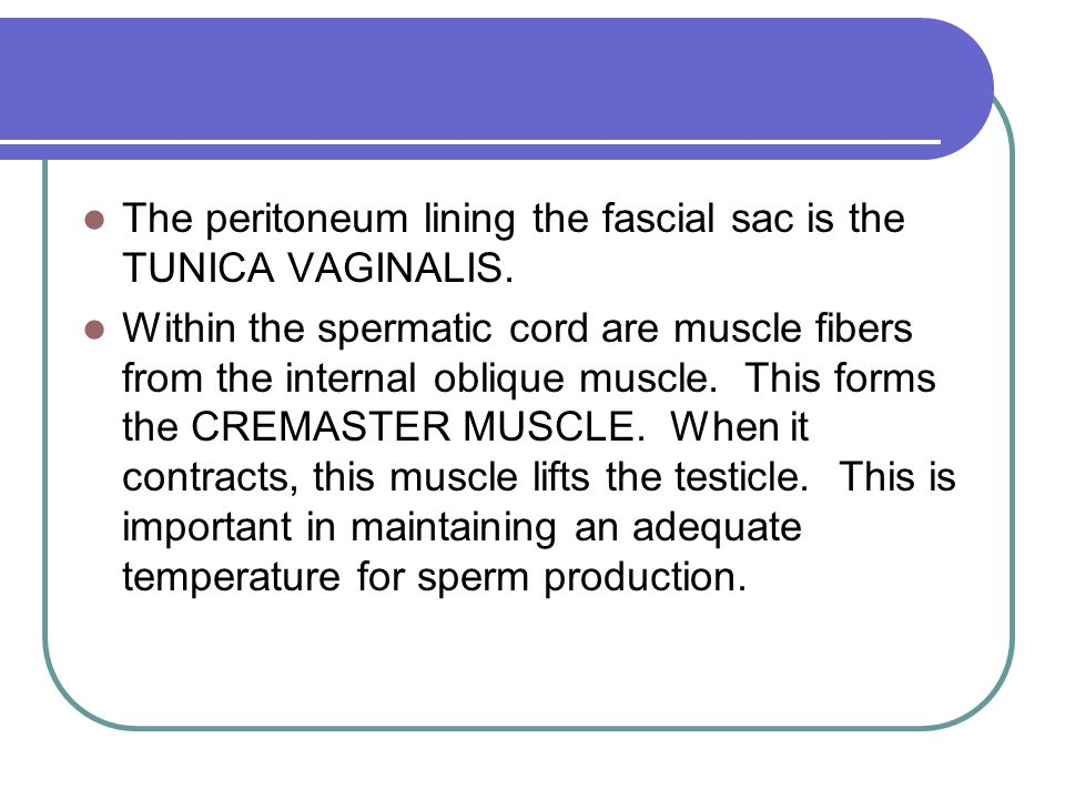 The peritoneum lining the fascial sac is the TUNICA VAGINALIS. Within the spermatic cord are muscle fibers from the internal oblique muscle. This form