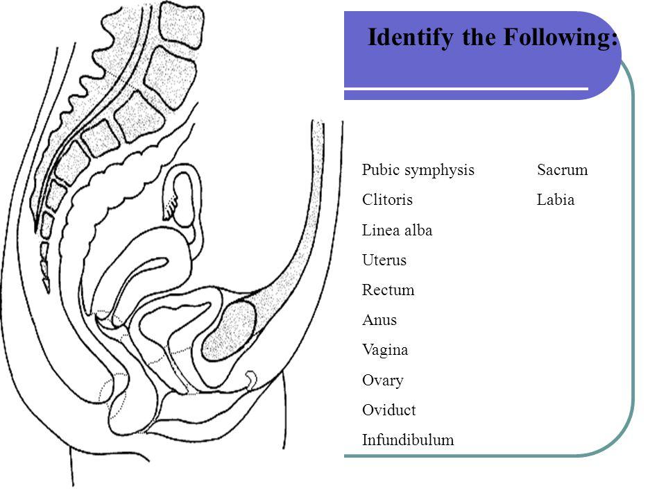 Identify the Following: Pubic symphysis Sacrum Clitoris Labia Linea alba Uterus Rectum Anus Vagina Ovary Oviduct Infundibulum