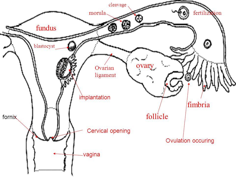 vagina fundus ovary cervix body Ovarian ligament fimbria ovum fertilization cleavage morula blastocyst follicle implantation vagina Cervical opening f