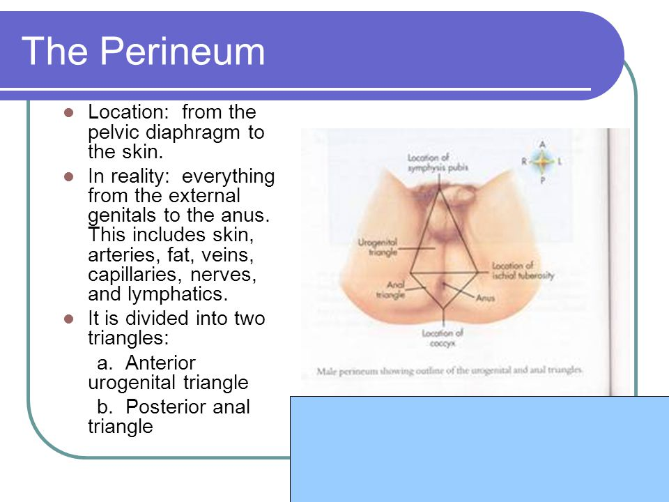 The Perineum Location: from the pelvic diaphragm to the skin. In reality: everything from the external genitals to the anus. This includes skin, arter