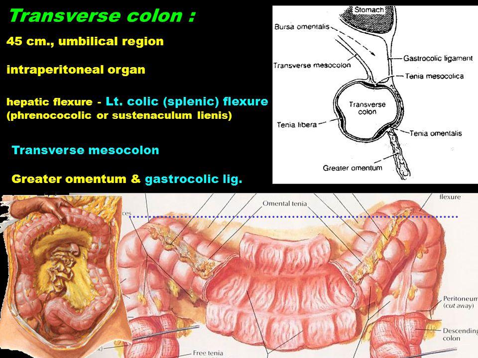 Transverse colon : 45 cm., umbilical region intraperitoneal organ hepatic flexure - Lt. colic (splenic) flexure (phrenococolic or sustenaculum lienis)