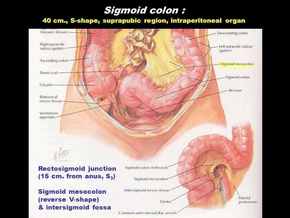 Sigmoid colon : 40 cm., S-shape, suprapubic region, intraperitoneal organ Rectosigmoid junction (15 cm. from anus, S 3 ) Sigmoid mesocolon (reverse V-