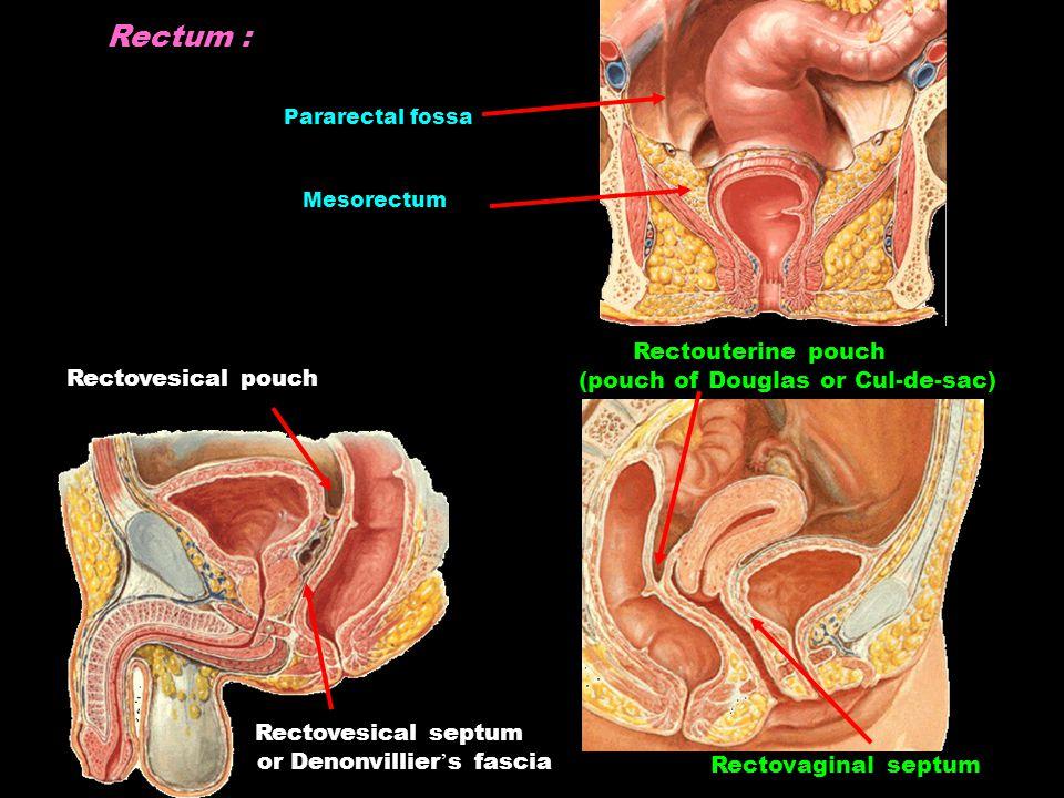 Rectum : Rectovesical pouch Rectouterine pouch (pouch of Douglas or Cul-de-sac) Pararectal fossa Mesorectum Rectovesical septum or Denonvillier ' s fascia Rectovaginal septum
