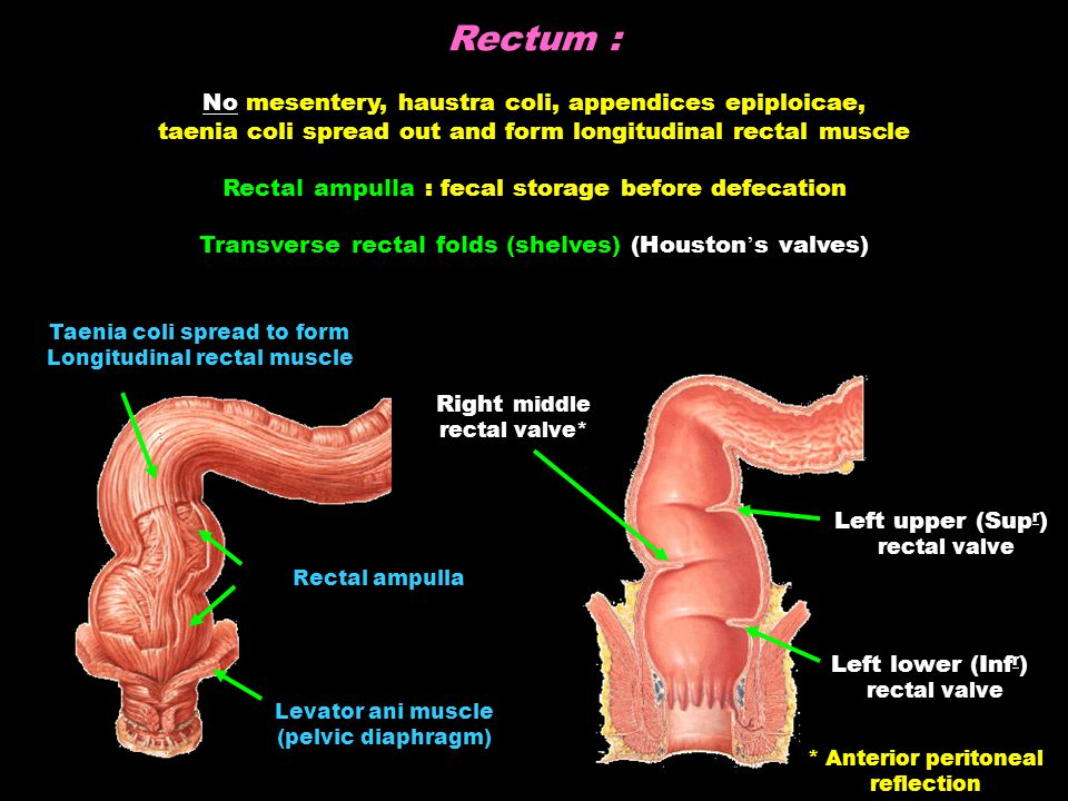 Rectum : No mesentery, haustra coli, appendices epiploicae, taenia coli spread out and form longitudinal rectal muscle Rectal ampulla : fecal storage before defecation Transverse rectal folds (shelves) (Houston ' s valves) Levator ani muscle (pelvic diaphragm) Rectal ampulla Taenia coli spread to form Longitudinal rectal muscle Right middle rectal valve* Left lower (Inf r ) rectal valve Left upper (Sup r ) rectal valve * Anterior peritoneal reflection