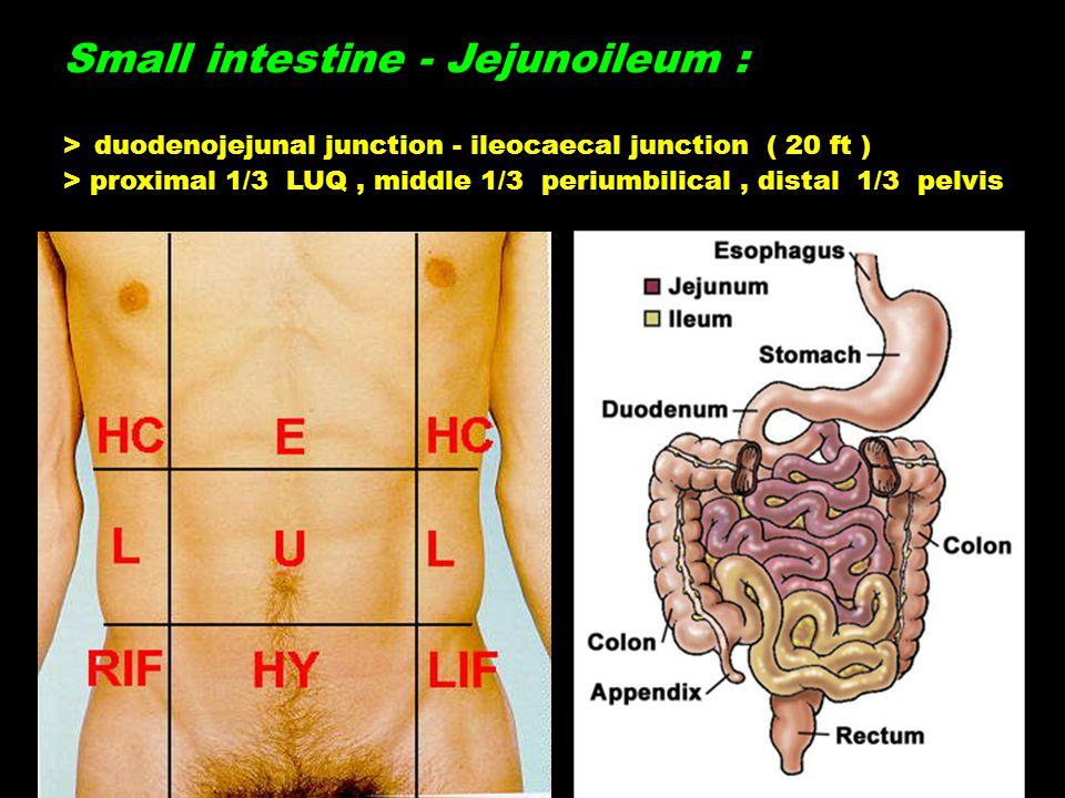 Small intestine - Jejunoileum : > duodenojejunal junction - ileocaecal junction ( 20 ft ) > proximal 1/3 LUQ, middle 1/3 periumbilical, distal 1/3 pelvis