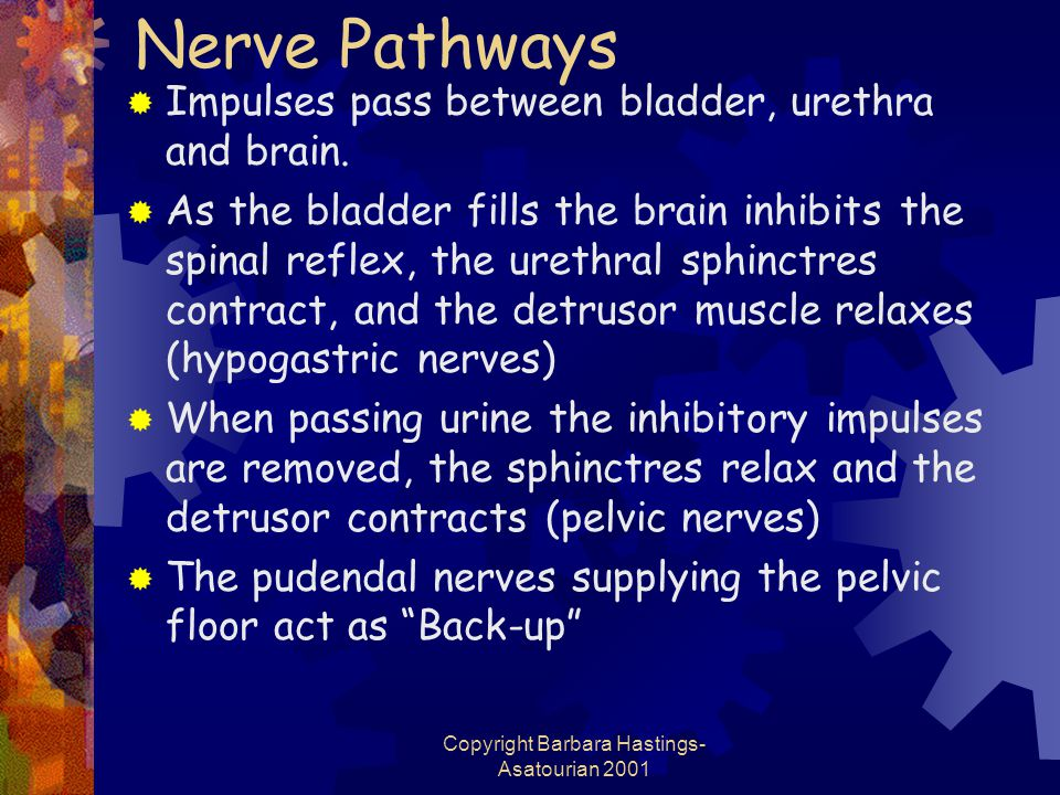 Copyright Barbara Hastings- Asatourian 2001 Nerve Pathways  Impulses pass between bladder, urethra and brain.