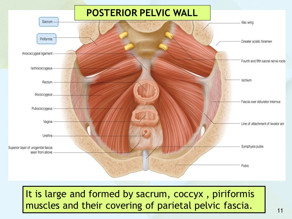 11 It is large and formed by sacrum, coccyx, piriformis muscles and their covering of parietal pelvic fascia. POSTERIOR PELVIC WALL