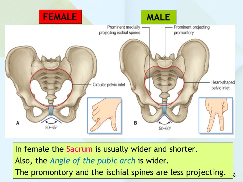 8 In female the Sacrum is usually wider and shorter. Also, the Angle of the pubic arch is wider. The promontory and the ischial spines are less projec