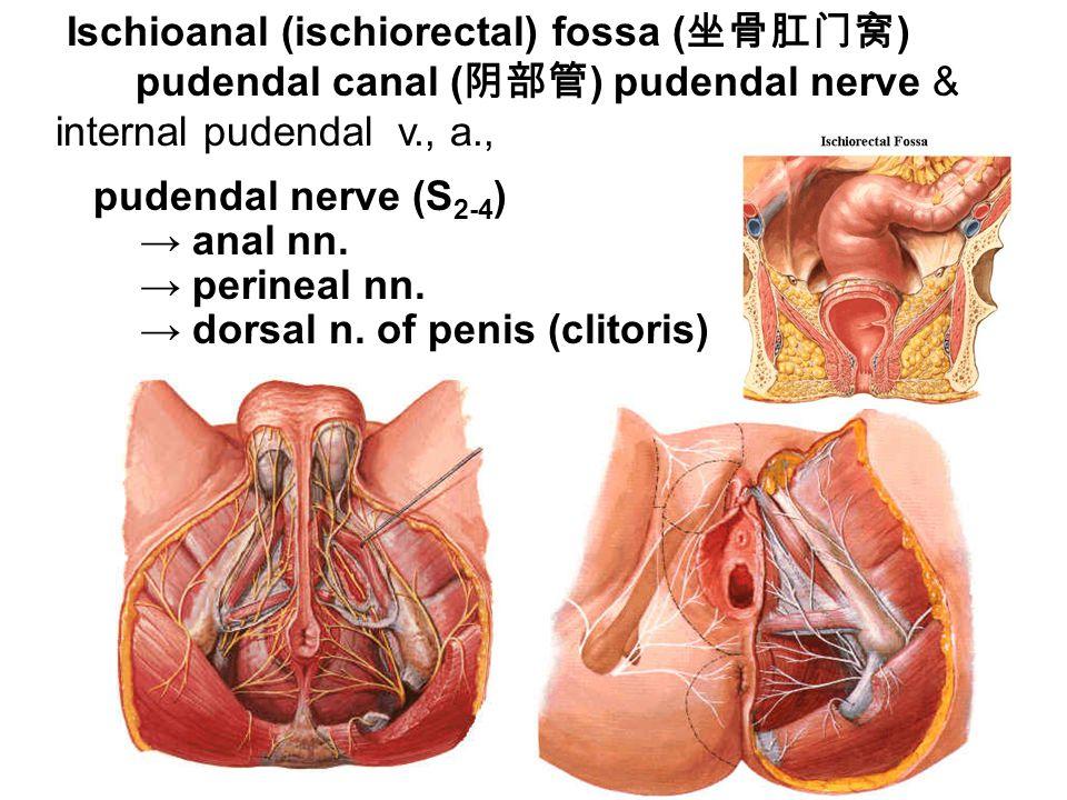 3. Ischioanal (ischiorectal) fossa ( 坐骨肛门窝 )