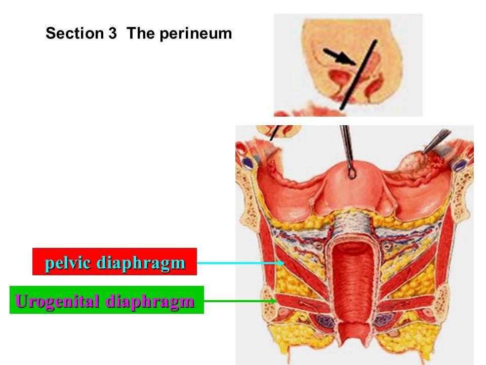 c. deep perineal space ( 会阴深间隙 ) i. deep transverse muscle of perineum ( 会阴深横肌 ) ii. sphincter of urethra M: ( 尿道括约肌 ) urethrovaginal sphincter F: ( 尿