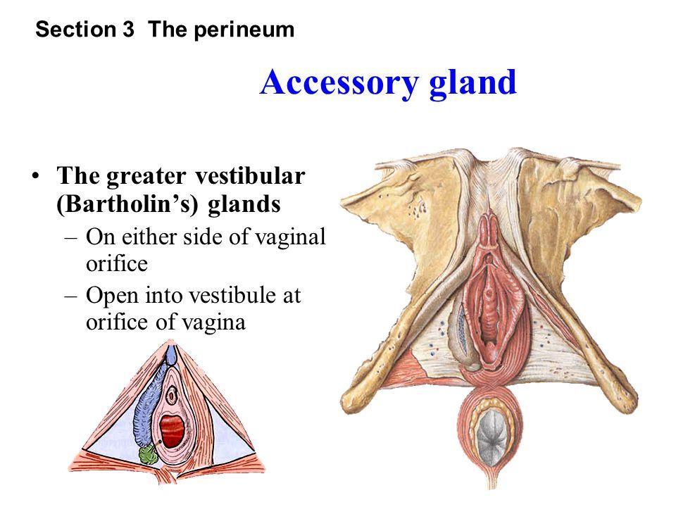 Urogenital diaphragm pelvic diaphragm Section 3 The perineum